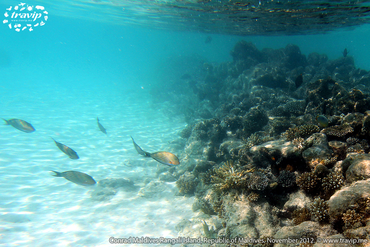 San hô ở  Conrad Maldives Rangali Resort.